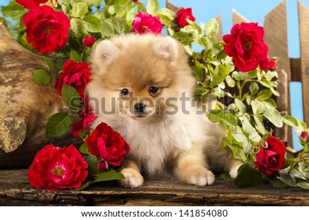 german (pomeranian) spitz puppies and flowers roses - stock photo