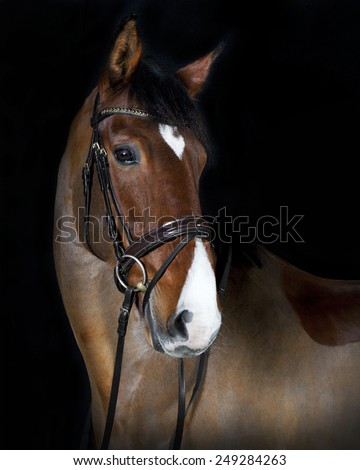 German riding horse in studio portrait, black background
