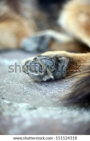German sheep dog paw - stock photo
