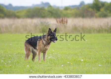 German sheepdog on the summer field