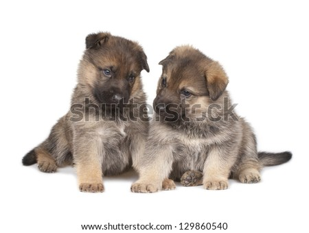 German sheepdog`s puppies isolated over white background