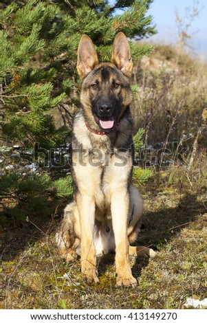 german sheepdogs puppy in forest - stock photo