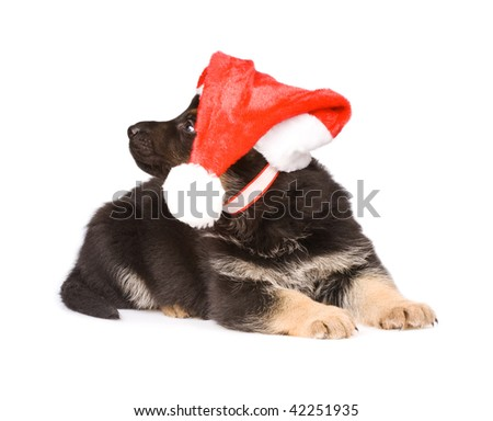 German sheepdogs puppy in red christmas caps isolated on white background