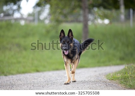 German shepard dog go for a walk - stock photo