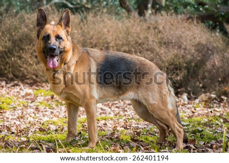 German shepard dog outdoor - stock photo