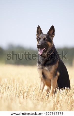 German shepard dog sit in field - stock photo