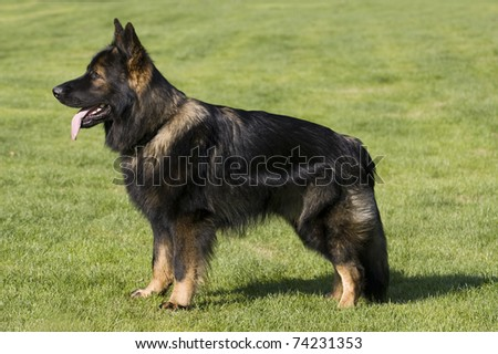 german shepard longhair standing in the green grass and watching other
