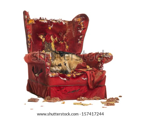German Sheperd looking dipressed on a destroyed armchair, isolated on white - stock photo