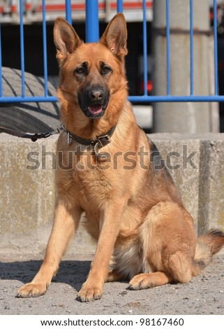 German Shepherd - stock photo
