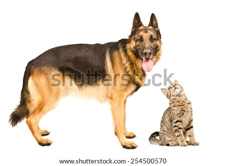 German Shepherd and a curious cat Scottish Straight isolated on white background - stock photo