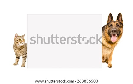 German Shepherd and cat Scottish Straight peeking from behind a poster isolated on white background