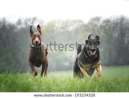 german shepherd and doberman pinscher running in spring nature - stock photo