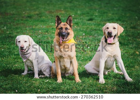 German shepherd and two Labradors sitting on green grass - stock photo