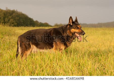 German shepherd, Aran black wolf, in nature before the storm