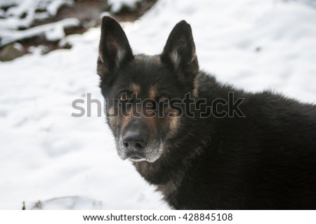 German Shepherd breed. Lovely and cute dog with funny face. Interesting dog breed. Dog photography outdoor. Dog for dogs sport - agility, obedience, frisbee, hunting. Animal shot capturing dog. - stock photo