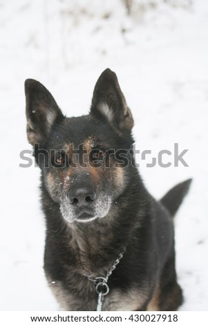 German Shepherd breed. Lovely and cute dog with funny face. Interesting dog breed. Dog photography outdoor. . Animal shot capturing dog. Border collie. - stock photo