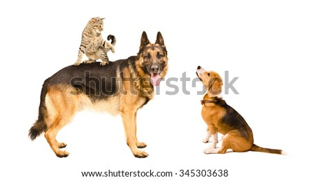 German shepherd, cat and Beagle playing together, isolated on white background - stock photo