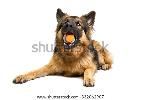 German shepherd chewing an orange ball in front of a white background