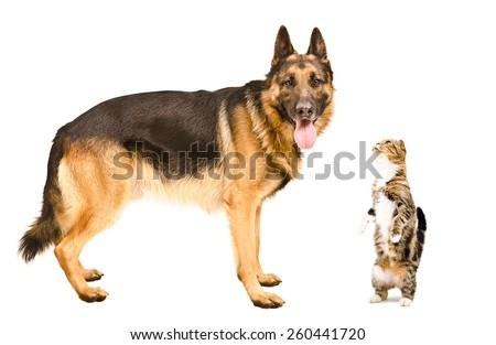 German Shepherd dog and cat Scottish fold standing together isolated on white background - stock photo