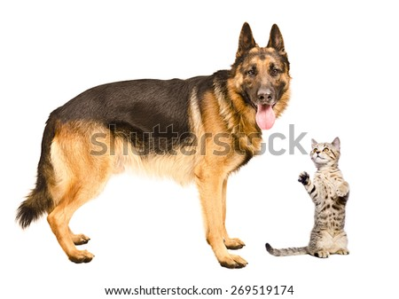German Shepherd dog and frisky cat Scottish Straight standing together isolated on white background
