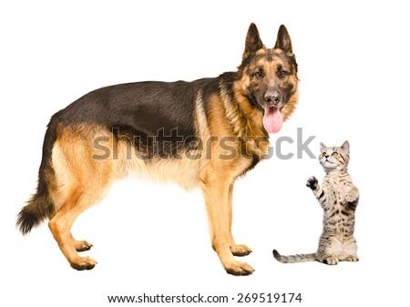 German Shepherd dog and frisky cat Scottish Straight standing together isolated on white background - stock photo