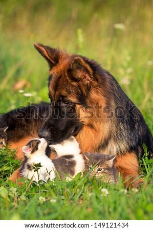 German shepherd dog and little kittens - stock photo