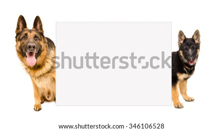 German Shepherd dog and puppy peeking from behind a poster, isolated on white background