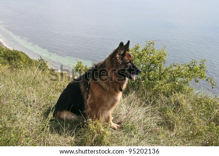 German shepherd dog at the coast on a summer day - stock photo