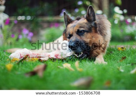 German shepherd dog chewing on a bone in garden - stock photo
