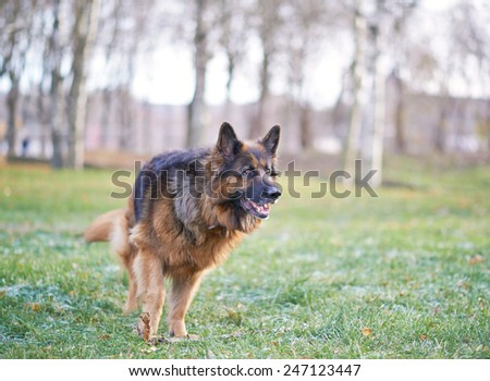 German shepherd dog composition against the autumn backdrop