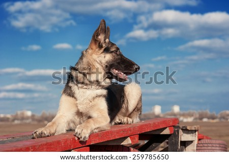 German shepherd dog (East European sheepdog) on the training, obedience. - stock photo