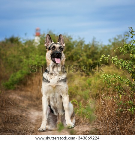 German shepherd dog (East European sheepdog) sits, looks ahead and waits commands.Sunlight, bright blue sky and lighthouse on background. - stock photo