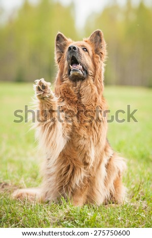 German shepherd dog giving a paw - stock photo