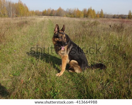 German shepherd dog in sunny autumn day