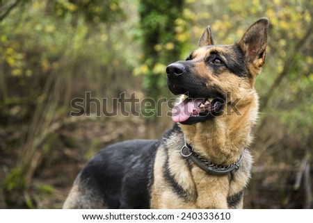 German shepherd dog in the forest - stock photo