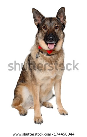 German shepherd dog is sitting on a white background