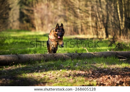German shepherd dog jumping over the tree in the forest - stock photo