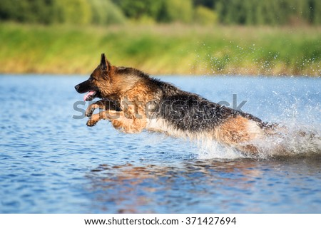 german shepherd dog jumps into water - stock photo