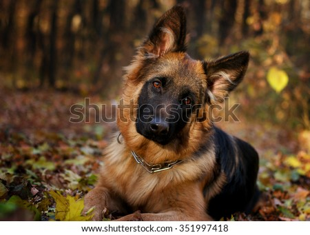 German shepherd dog Junior puppy lying in the forest in the age of seven months  - stock photo