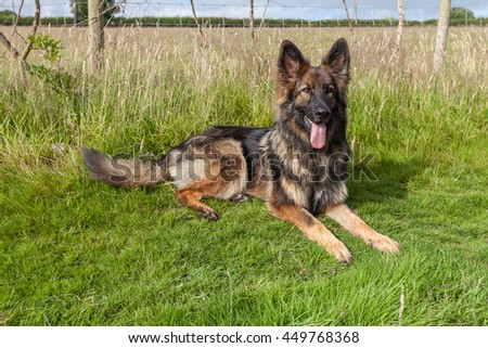 German Shepherd Dog laid on grass with his tongue out and his head up.