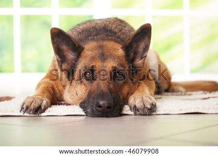 German shepherd dog laying on the carpet in home - stock photo