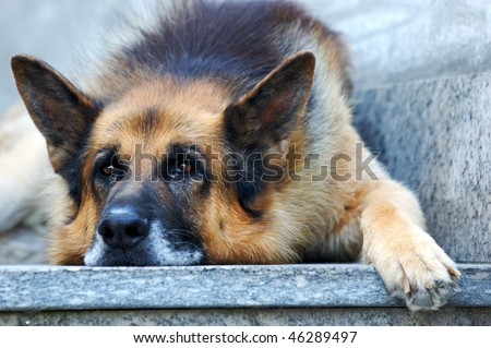 German shepherd dog, leaning on ground with sad face