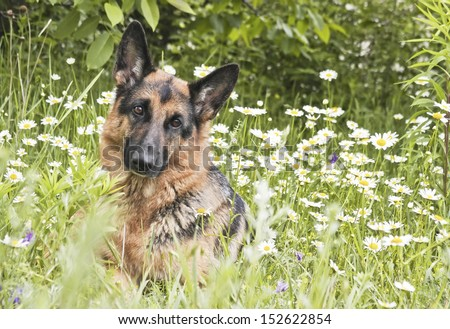 German shepherd, dog  lies on a glade in a green grass and flowers, in white daisies, animal outdoors - stock photo