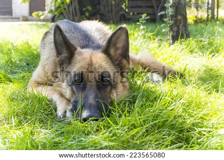 German Shepherd dog lies on grass in the garden and devoted eyes looking into the camera