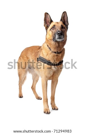 German Shepherd dog looking away, isolated on a white background