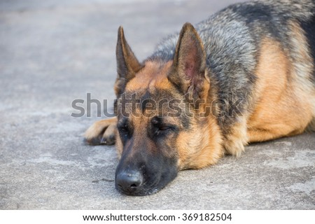 German shepherd dog lying on ground