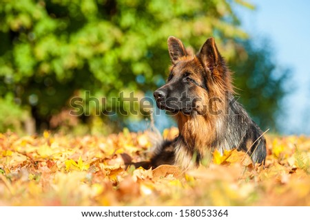 German shepherd dog lying on leaves in autumn