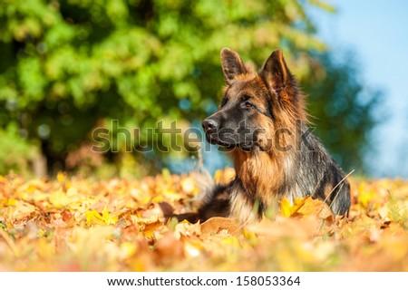 German shepherd dog lying on leaves in autumn - stock photo