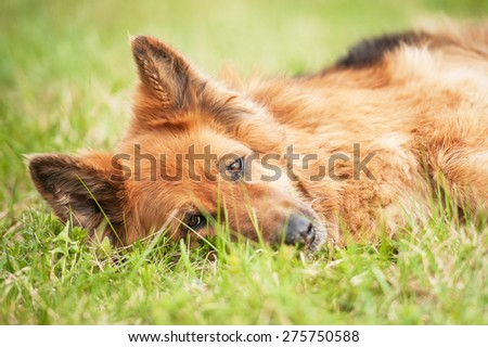 German shepherd dog lying on the grass - stock photo