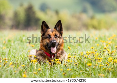 German shepherd dog lying on the ground with flowers - stock photo